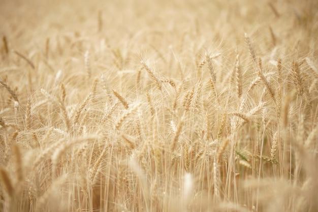 Gele tarwe gerst rijst groeien op padiegebied in landbouwgrond