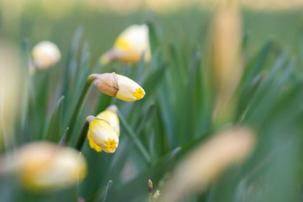 Gele tedere narcissen bloemen bloeien in de lentetuin.
