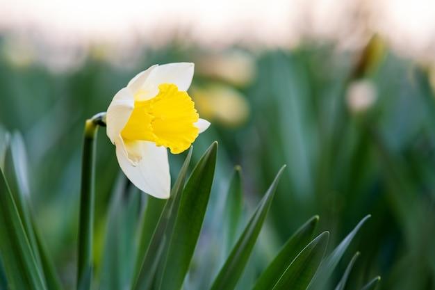 Gele tedere narcissenbloem die in lentetuin bloeien.