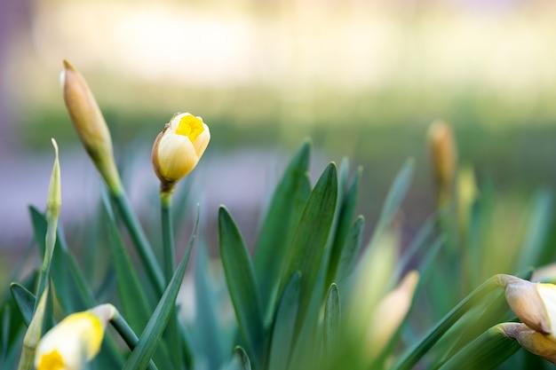 Gele tedere narcissenbloemen die in de lentetuin bloeien.