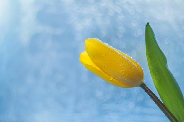Gele tulp met een groen blad en een steel met druppels dauw op bloemblaadjes op een mooie blauwe achtergrond, bokeh.