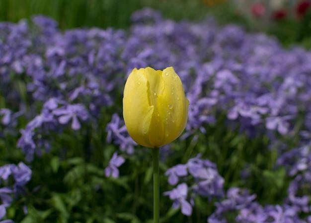 Gele tulp op blauwe parfum kruipende flox