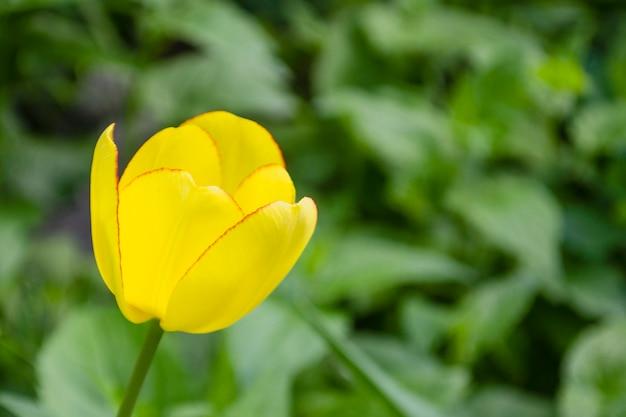 Gele tulp op groene planten en gras