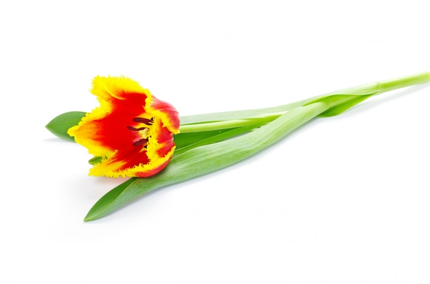 Gele tulpen die op witte achtergrond worden geïsoleerd
