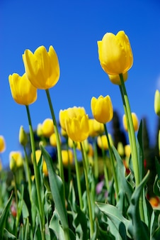 Gele tulpen en lucht