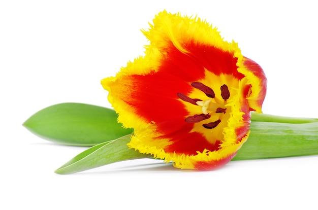 Gele tulpen geïsoleerd