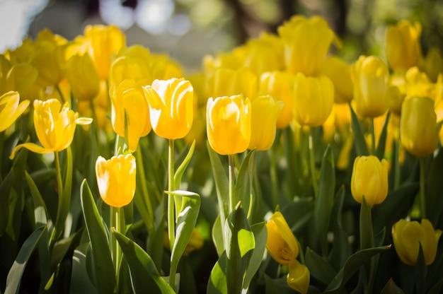 Gele tulpen in de tuin