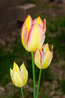 Gele tulpen met roze randclose-up