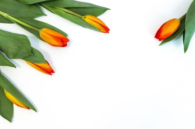 Gele tulpen op wit