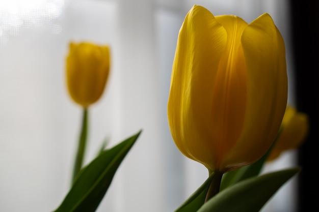 Gele tulpen tegen door een transparant gordijn