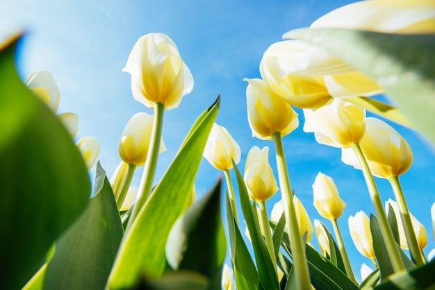 Gele tulpenclose-up tegen de hemel