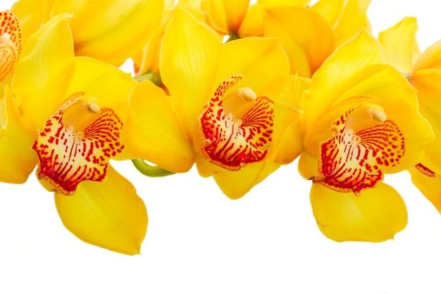 Gele verse orchidee bloeiende bloemen grens geïsoleerd op een witte background