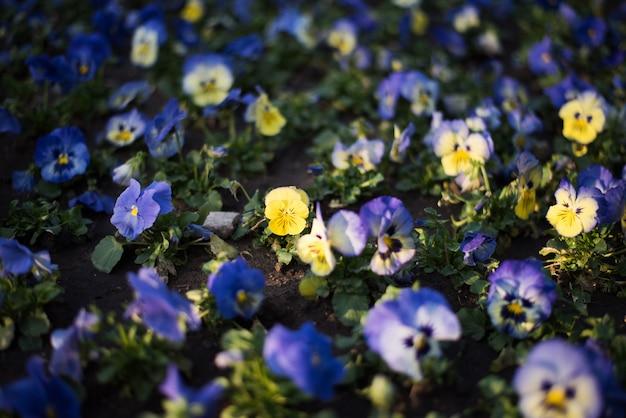 Gele viooltjebloem met donkere bokeh vage achtergrond
