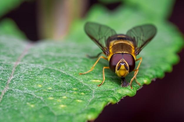 Gele vlieg op zoek naar voedsel op sommige bladeren