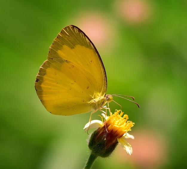 Gele vlinder op bloem