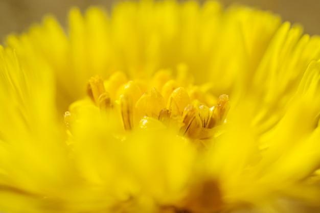 Gele wilde bloem van coltsfoot close-up, macrofoto in heldere gele kleuren. het concept van geneeskrachtige kruiden, traditionele geneeskunde. abstract bloembeeld.
