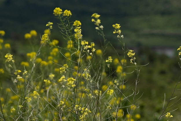 Gele wilde bloemen in de buurt van velden, meren en onder blauwe luchten en dikke wolken
