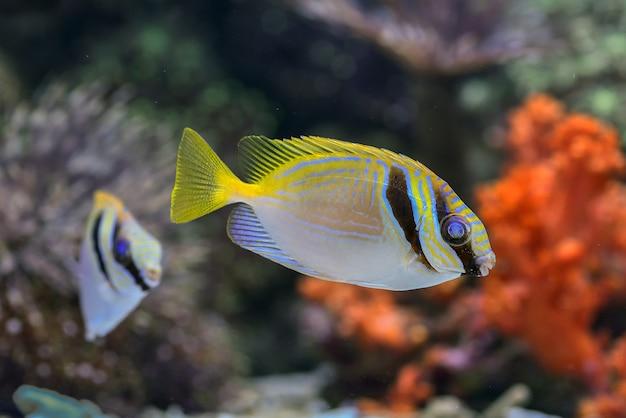 Gele zeevissen die in het water drijven