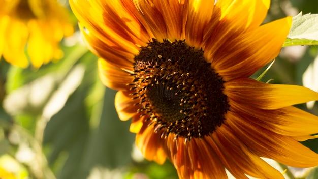 Gele zonnebloem, close-up.