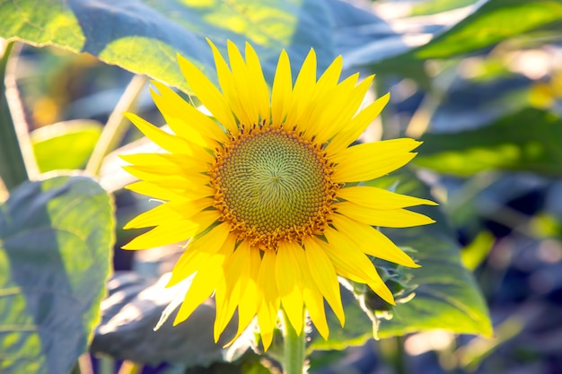 Gele zonnebloem close-up