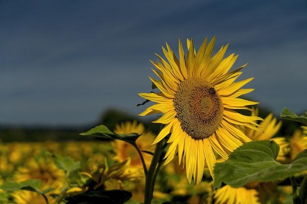 Gele zonnebloem in close-up