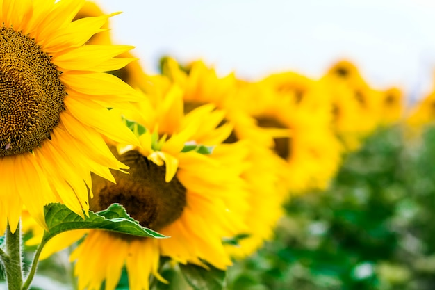 Gele zonnebloem in veld close-up