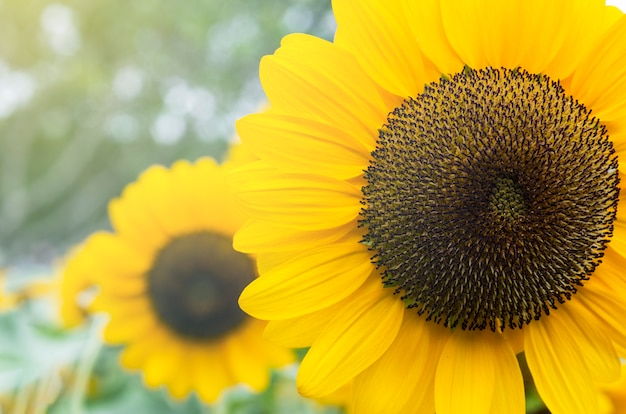 Gele zonnebloem met vage achtergrond