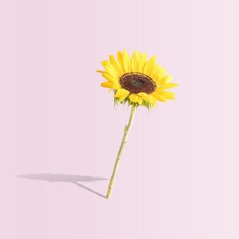 Gele zonnebloem op pastel roze achtergrond