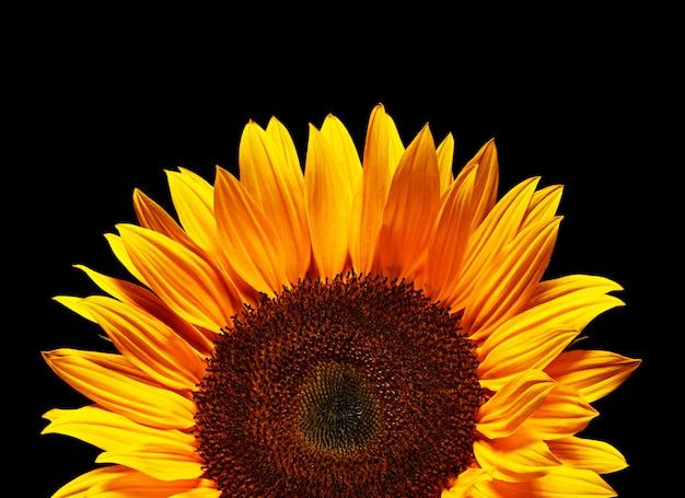 Gele zonnebloem op zwarte achtergrond