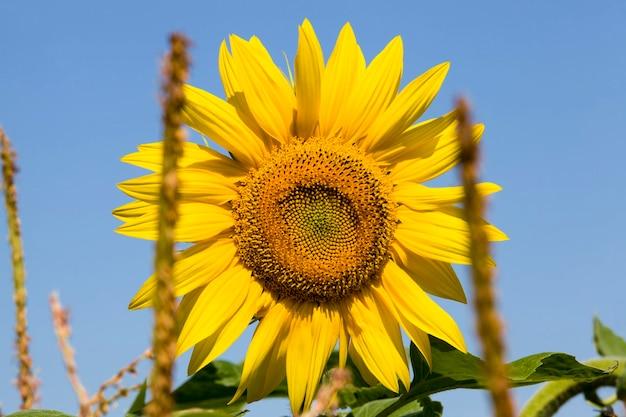 Gele zonnebloem teelt