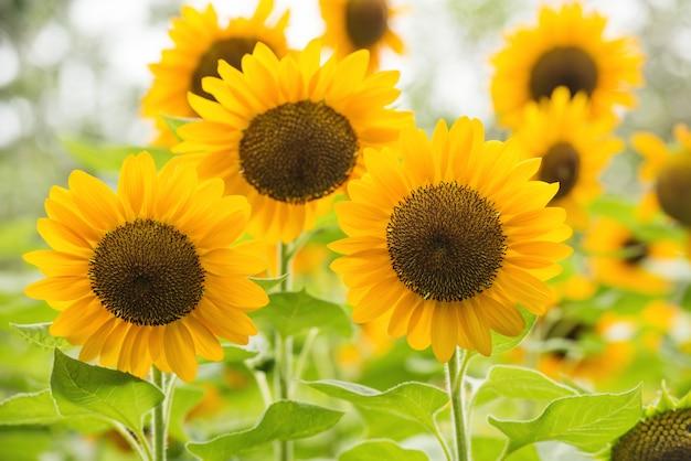 Gele zonnebloemen. gebied van zonnebloemen