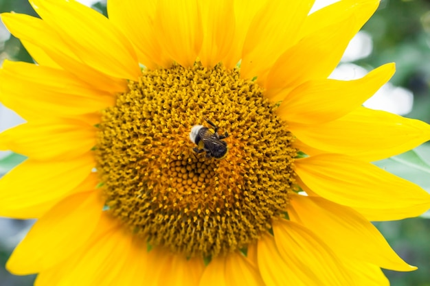Gele zonnebloemen op het gebied van landbouwzonnebloem. hommel zittend op een gele zonnebloem.