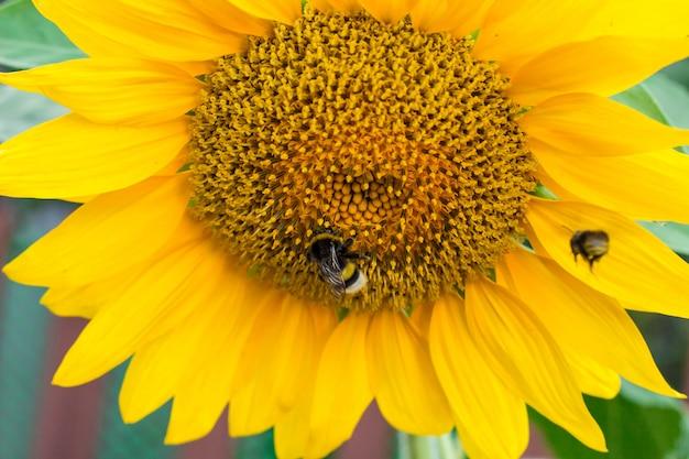 Gele zonnebloemen op het landbouwzonnebloemgebied. hommelzitting op een gele zonnebloem