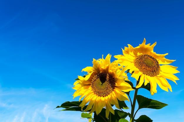 Gele zonnebloemen over blauwe hemel, kopieer ruimte