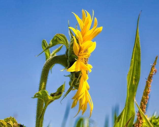 Gele zonnebloemen