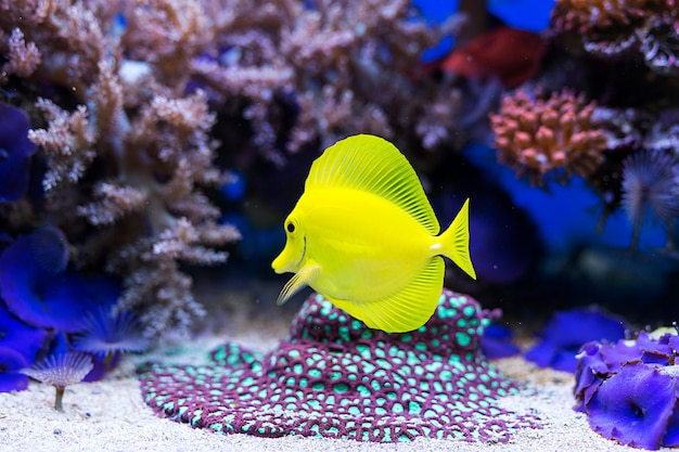 Gele zweempjevissen in aquarium