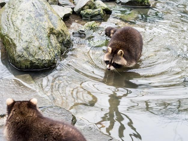Gelsenkirchen, duitsland - februari 11, 2017: een wasbeer die dichtbij een grote rots naar een andere wasbeer zwemt bij zoom erlebniswelt
