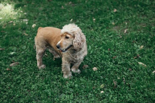Geluid en vintage stijl. de gang van de hondcocker-spaniël in park in de de zomerdag.