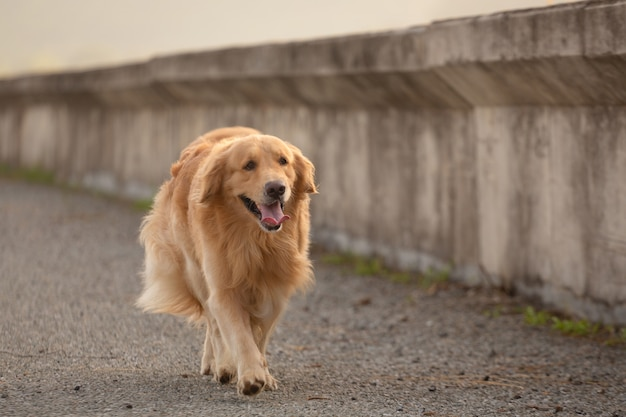 Gelukkig golden retriever hond uitgevoerd