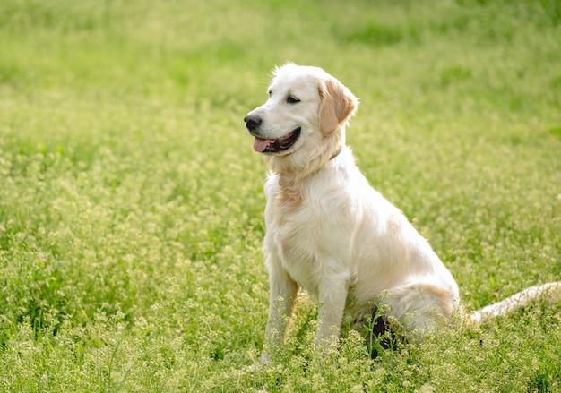 Gelukkig golden retriever op bloeiend gebied