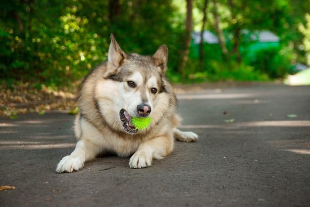 Gelukkig husky leugens en speelt met de bal.