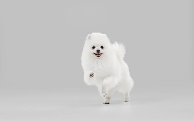 Gelukkig in beweging spitz kleine hond poseert schattig speels wit hondje of huisdier spelen op grijze studio