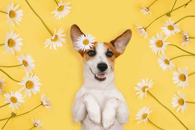 Gelukkig jack russell met een lachend gezicht ligt met kamille bloemen op een gele achtergrond.