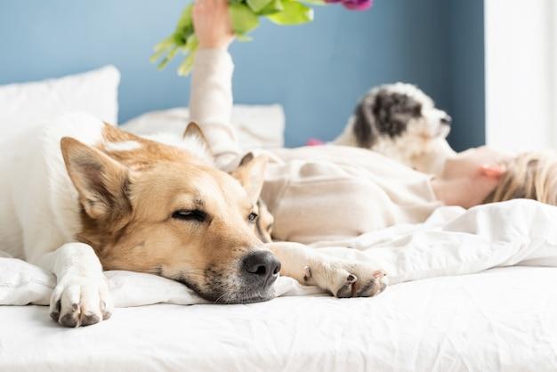 Gelukkig jonge vrouw liggend in het bed met haar honden, blauwe muur achtergrond