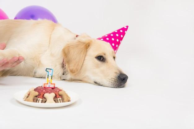 Gelukkig lachend golden retriever puppy hondje met verjaardagshoed en vleescake.