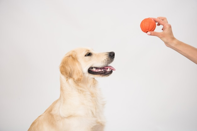 Gelukkig lachend golden retriever rashond met bal speelgoed