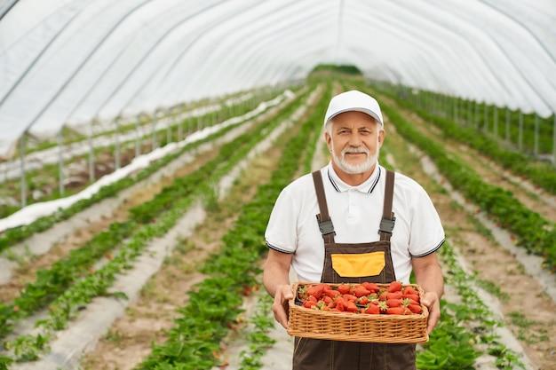 Gelukkig senior tuinman in uniform poseren in buiten kas met mand van rijpe aardbeien in handen. bebaarde man ziet er tevreden uit met seizoensgebonden oogst.