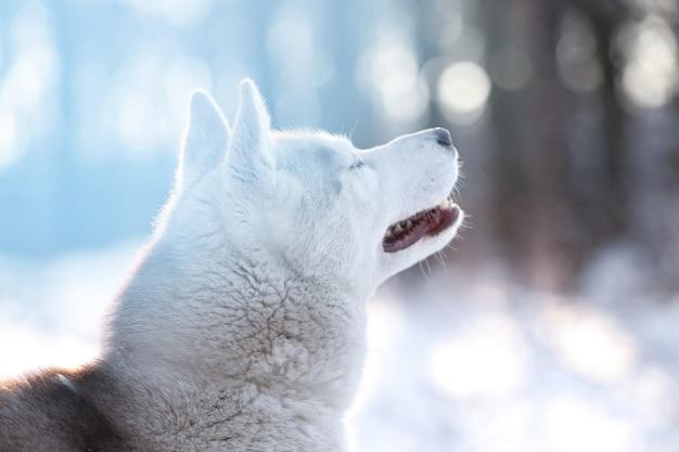 Gelukkig siberische husky buitenshuis op winterdag
