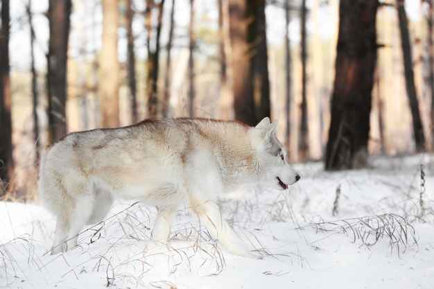 Gelukkig siberische husky in winter woud op zonnige dag