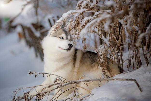 Gelukkig siberische husky met blauwe ogen verheugt zich op een wandeling in de sneeuw.